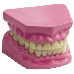 Machoire avec dents -...
