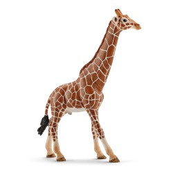 Girafe - Mâle